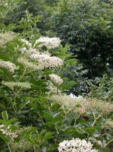 Elderflower 2